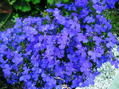 blue flower ground cover plants blue flowering ground cover iimajackrussell garages best flowering ground cover ideas