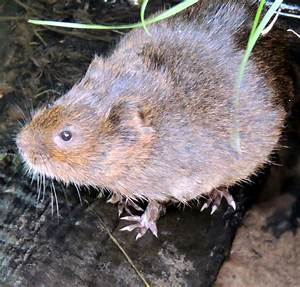 About a Brook: When Voles Grow Bold