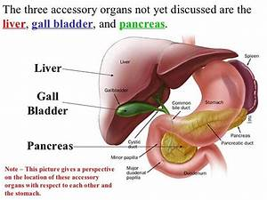 Pictures Of Accessory Digestive Organs
