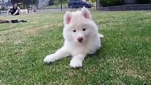White Husky Puppy - So Fluffy!!! So Cute!!! - YouTube