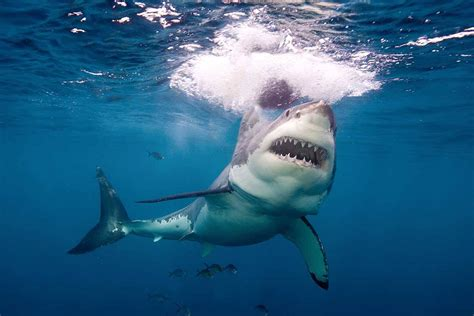 White Shark's Diet May Include Biggest Fish Of All