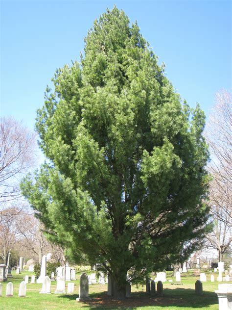 File:Pinus strobus 'Fastigiata', Mount Auburn Cemetery.JPG ...