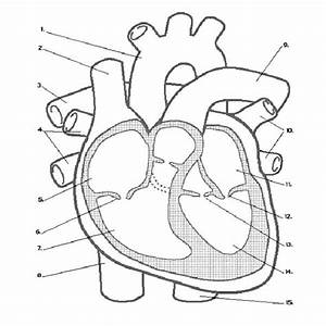 free printable anatomy coloring pages 28 image With heart diagram