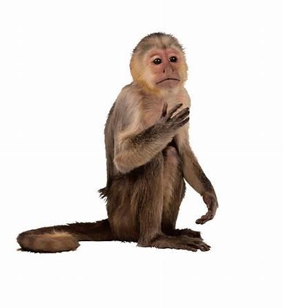 Monkey Clipart Capuchin Transparent Primate Simia Macaque