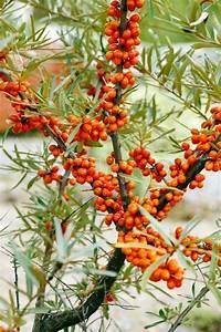 Busch Mit Roten Beeren : junge meer sanddorn busch mit beeren stockfoto colourbox ~ Markanthonyermac.com Haus und Dekorationen