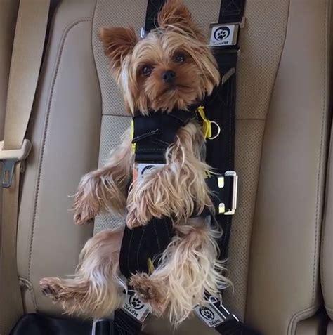 harness seat adorable seatbelt keeps pets safe but horrifying