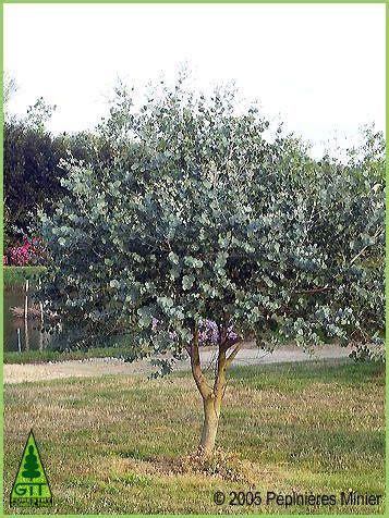 eucalyptus gunnii pruning poda en eucalipto guni eco