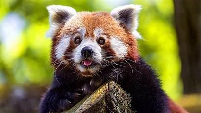 Panda Wallpapers 1080p