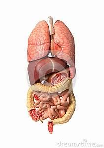 Human Male Anatomy  Internal Organs Alone  Full