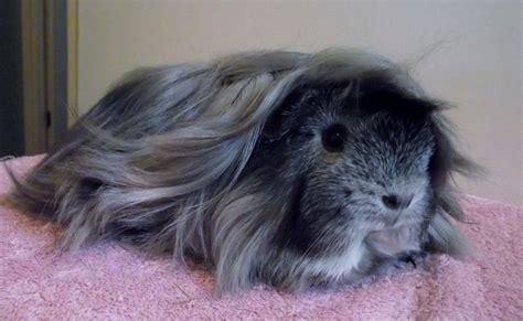 peruvian guinea pig sow feltham middlesex petshomes