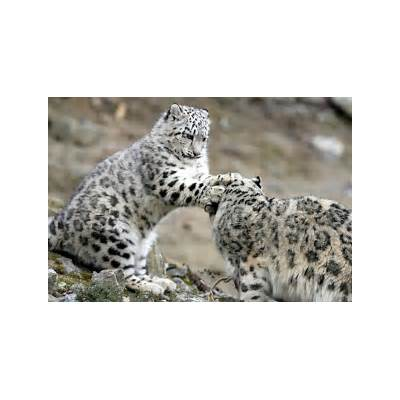 Snow Leopard among Endangered Species Threatened by