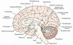 Midsagittal View Of The Brain  Visible Are The Structures