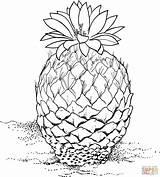 Cactus Coloring Pinecone Pine Cone Drawing Strobiliformis Barrel Printable Desert Drawings Plants Designlooter Getdrawings Supercoloring Clipart 83kb 1815 sketch template