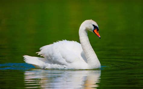 beautiful swan wallpapers wallpaper styles