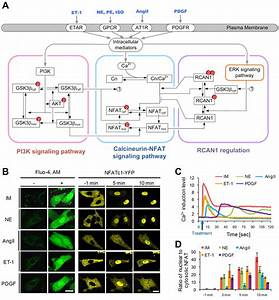 A Hidden Incoherent Switch Regulates Rcan1 In The
