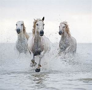3 white horses running on the water | Caballares ...