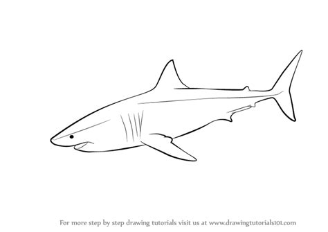 learn   draw  great white shark fishes step