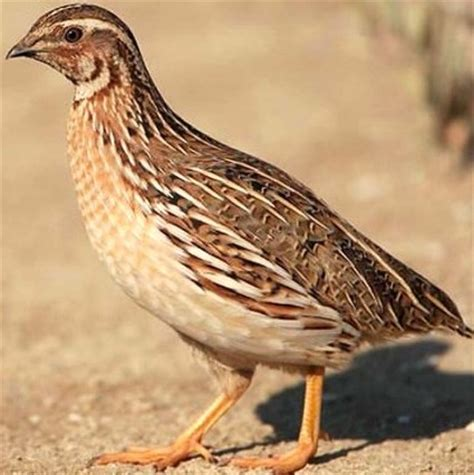 quail bird farming information guide asiafarming com