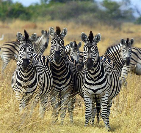 zebras endangered species extinct animals population wild zebra facts animal mountain grevy herd interesting going tremendous entered becoming considering risk