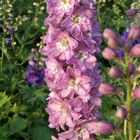 magic fountains lilac pink delphinium live plant 2 5 inch pot