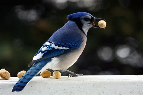 file blue jay with peanut december 2010 jpg wikimedia
