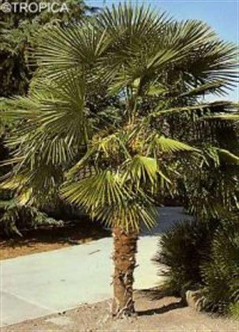 trachycarpus fortunei hanfpalme anleitungen saatgut
