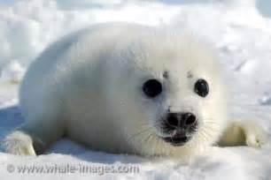 Cute Baby Harp Seal