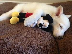 Cute Emergency @Cute Emergency White German Shepherd ...