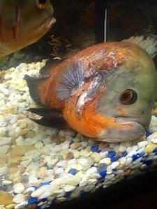 Oscar   My Aquarium Club
