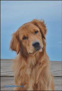 best dog food for golden retrievers best of 2309 best With best dog food for golden retrievers