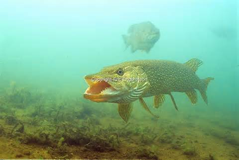 Northern Pike Underwater