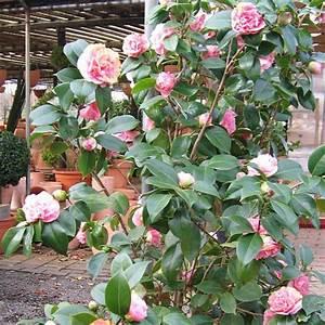 Camellia Japonica Winterhart : kamelie winterhart haufler baumschule und gartengestaltung ~ Eleganceandgraceweddings.com Haus und Dekorationen