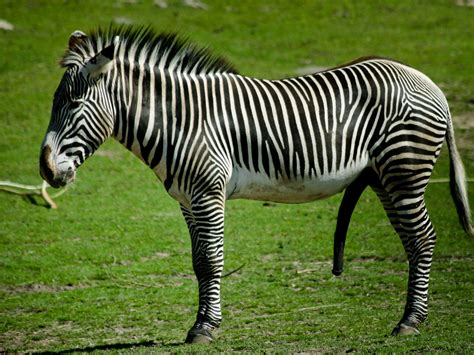 Zebra Animal Wallpaper - animal zebra wallpaper wallpup