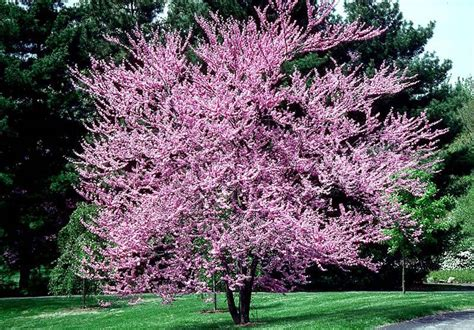 eastern redbud trees beechwood landscape architecture and construction eastern redbud deciduous tree woody plant