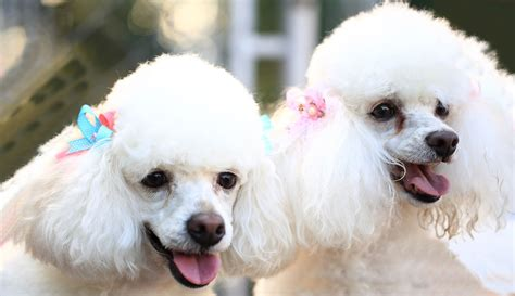 Enthralling Information About The Bichon Frise Poodle Mix