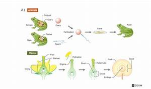 Sexual Reproduction In Animals Diagram | www.pixshark.com ...