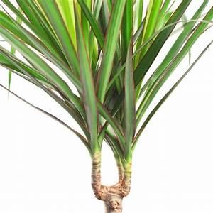 Entretien Plante Verte : dracaena marginata 160 170cm 4 pieds plantes et jardins ~ Medecine-chirurgie-esthetiques.com Avis de Voitures