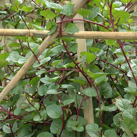 tanaman gendola binahong merah bibitbungacom