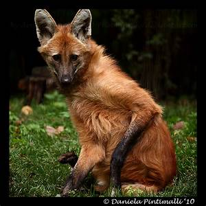 Maned Wolf II by TVD-Photography on DeviantArt