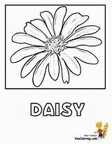 Daisy Coloring Flowers Flower Daisies Printout Yescoloring Artsy Silk Ten Lotus Bountiful sketch template