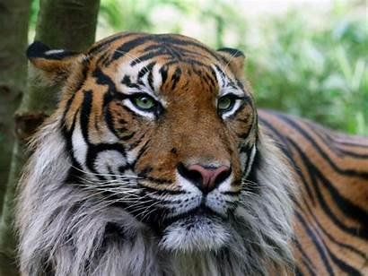 Tiger 3d Desktop Wallpapers Wallpapersafari Bilder Fr