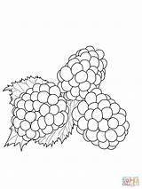 Blackberries Coloring Printable Pages Blackberry Blueberry Colouring Version Bush sketch template
