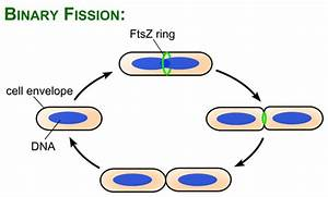 Binary Fission And Other Forms Of Reproduction In Bacteria