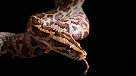 how do pythons live python san diego zoo animals plants