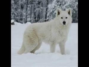 Bébé Loup Blanc : loup blanc youtube ~ Farleysfitness.com Idées de Décoration