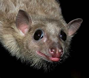 Lemurs, Mongooses and Bats in the Belfry: Bats