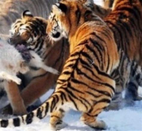 Le Tigre De Sibérie, Prédateur Ultime  Sciences Et Avenir