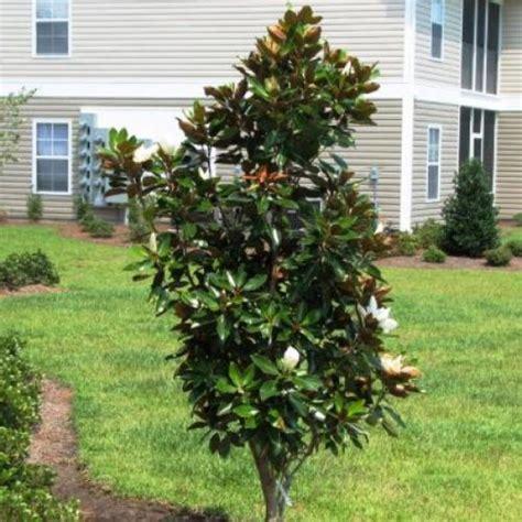 magnolia tree varieties australia magnolia little gem australian plants online