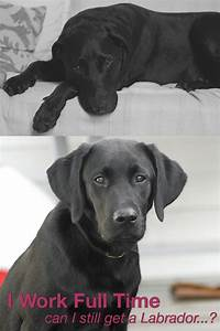 Is Your Dog Home Alone - How Long Can You Leave Your Lab
