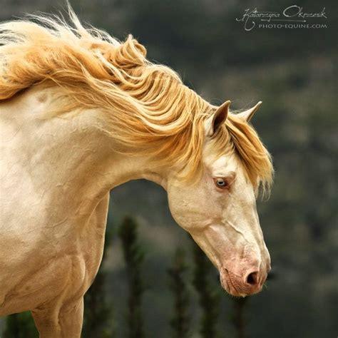 horse andalusian horses pearl stallion okrzesik katarzyna gold colors champagne coloring colored lusitano head cremello golden perlino pretty spanish caballos